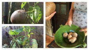 L'igname, une culture possible sur terrains contaminés